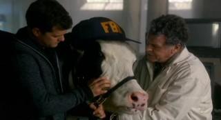 Fringe S4x17 - Gene the Cow gets an FBI cap too